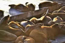 Seals on Fisherman's Wharf, San Fransisco